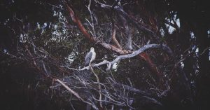 kathrynleahy-white-bellied-sea-eagle-peppermint-bay-cruise-copy-2