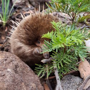 Echidna, South Bruny National Park