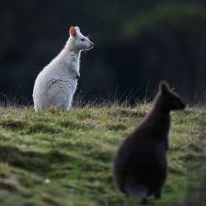 White wallaby and Bennetts Wallaby, Bruny Island