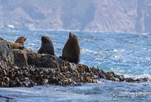 Male fur seals, Bruny Island