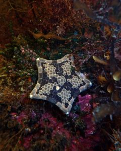 A starfish photographed at the Ninepin Point Marine Reserve