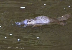 Geeveston Platypus Walk